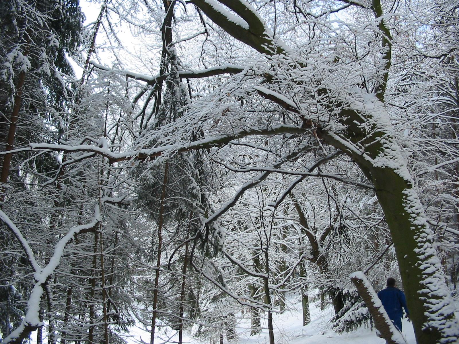 Unter den Schneelasten der letzten Wochen drohen Äste abzubrechen oder gar ganze Bäume umzustürzen. Foto: SVLFG